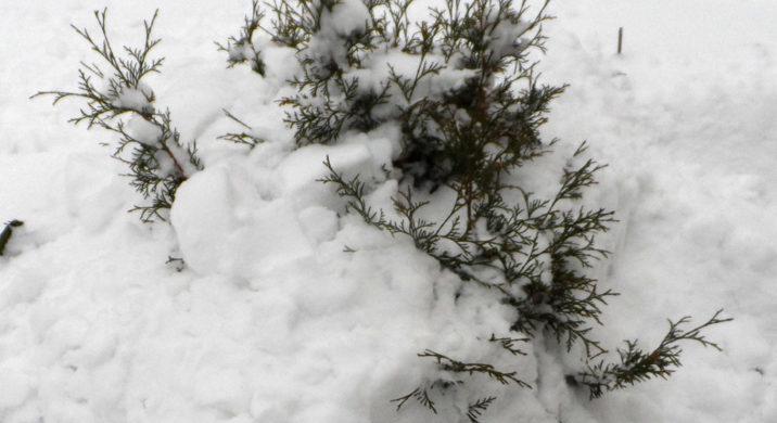 Укрытие хвойников на зиму